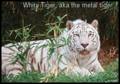 White_tiger202-by_John_White